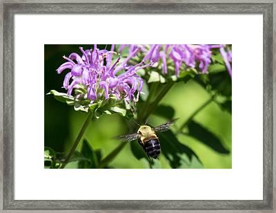 Boise Bumble Bee Framed Print
