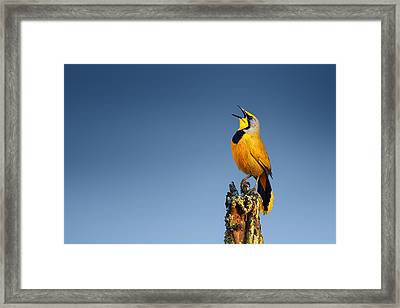 Bokmakierie Bird Calling Framed Print by Johan Swanepoel