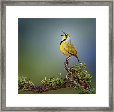 Bokmakierie Bird - Telophorus Zeylonus Framed Print by Johan Swanepoel