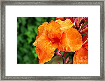 Canna Tropicanna Framed Print by Clare Bevan
