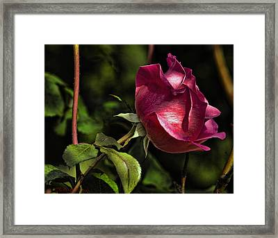 Framed Print featuring the photograph Bold Solitaire Rose by Robert Culver