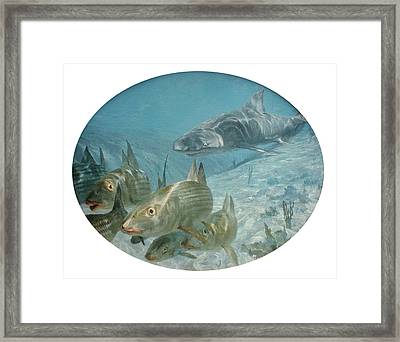 Bonefish Pursued By A Shark, 1972 Framed Print