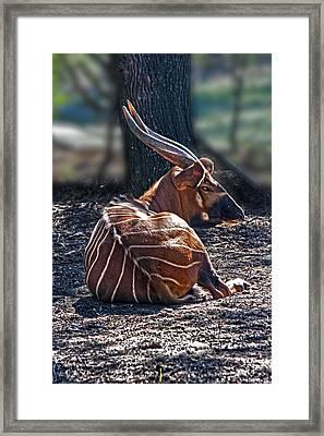 Bongo Framed Print