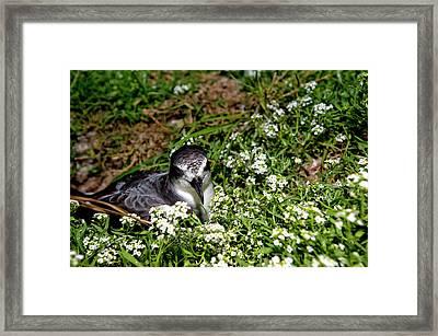 Bonin Petrel (pterodroma Hypoleuca Framed Print by Daisy Gilardini