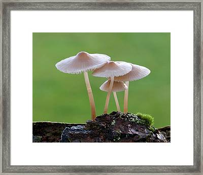 Bonnet-cap Fungus (mycena Galericulata) Framed Print by Nigel Downer