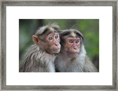 Bonnet Macaque Pair Huddling India Framed Print