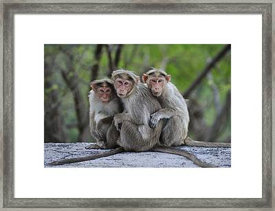 Bonnet Macaque Trio Huddling India Framed Print by Thomas Marent