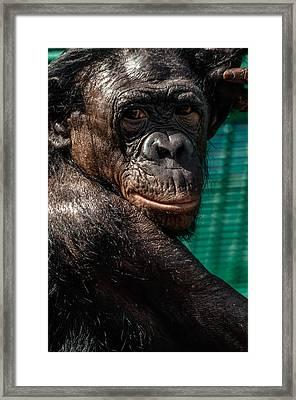 Bonobo Monkey Framed Print by Brian Stevens