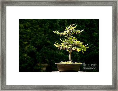 Bonsai Framed Print by Jane Rix