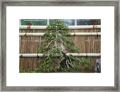 Bonsai Treet - Us Botanic Garden - 01135 Framed Print by DC Photographer