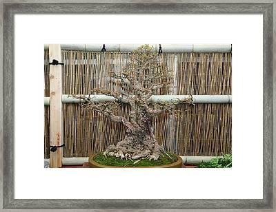 Bonsai Treet - Us Botanic Garden - 01136 Framed Print by DC Photographer