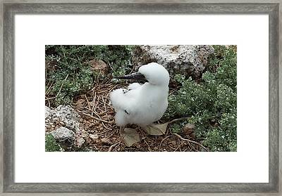 Booby Chick Framed Print