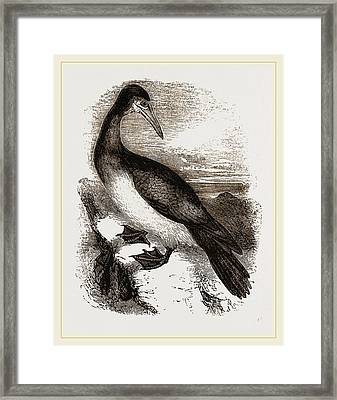 Booby Or Brown Gannet Framed Print