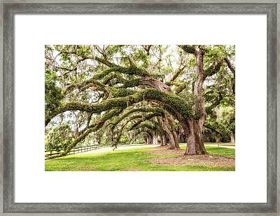 Boones Oaks Framed Print by Karol Livote