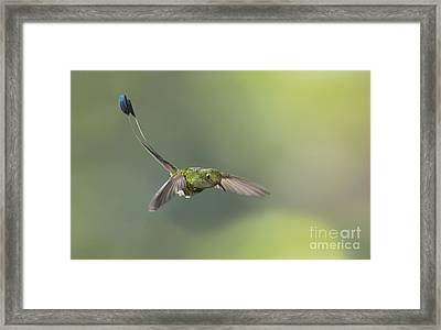 Booted Racket-tail Hummingbird Framed Print