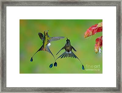Booted Racket-tail Hummingbird Males Framed Print by Anthony Mercieca