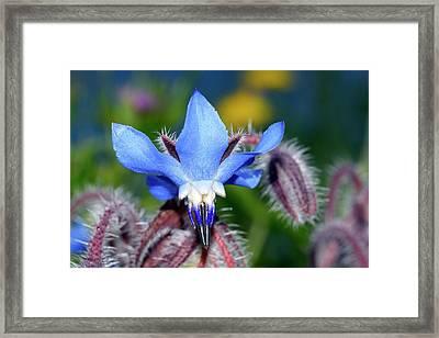 Borage (borago Officinalis) Flower Framed Print
