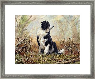 Border Collie Framed Print by Anthony Forster