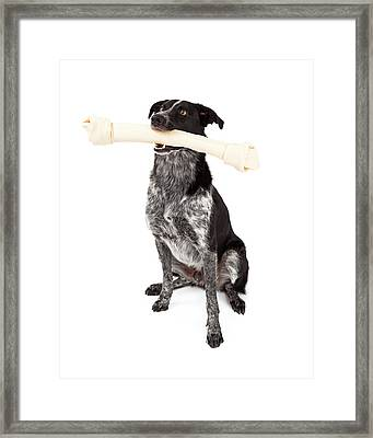 Border Collie Carrying Bone Framed Print by Susan Schmitz