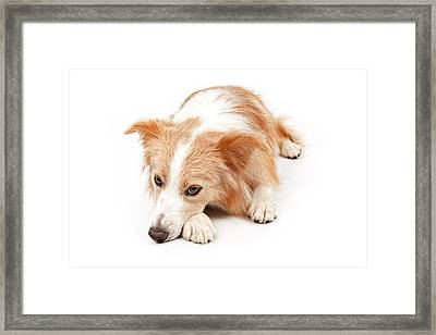 Border Collie Dog Laying Down  Framed Print by Susan Schmitz