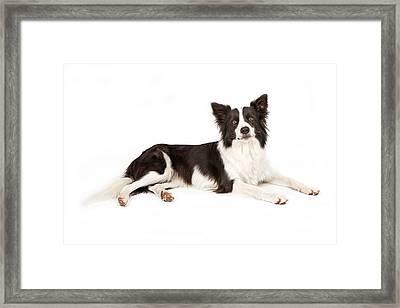 Border Collie Dog Looking Forward Framed Print by Susan Schmitz