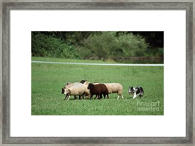 Border Collie Guarding Sheep Framed Print by Johan De Meester