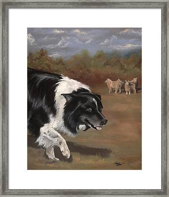 Border Collie Herding Framed Print