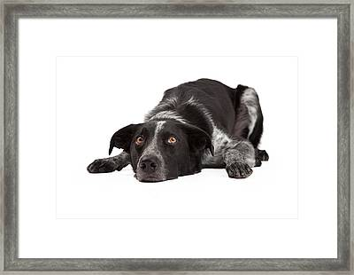 Border Collie Laying Head Down Framed Print by Susan Schmitz