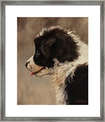 Border Collie Pup Portrait Framed Print by John Silver