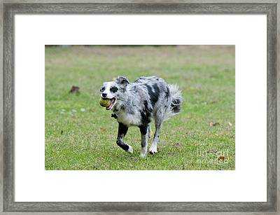 Border Collie Retrieving A Ball Framed Print