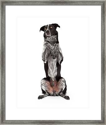 Border Collie Sitting Paws Up Framed Print
