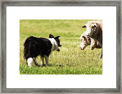 Border Collie Staring At Three Sheep Framed Print by Piperanne Worcester