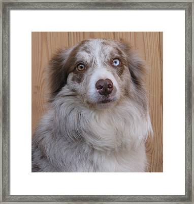 Border Collie With Blue-eyed Framed Print