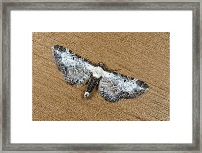 Bordered Pug Moth Framed Print by Nigel Downer