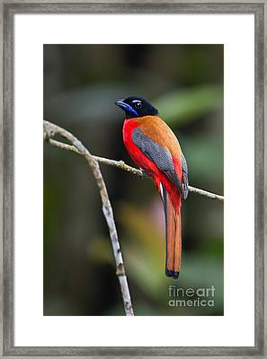 Bornean Beauty Framed Print by Ashley Vincent