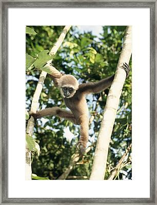 Bornean Gibbon Framed Print by M. Watson