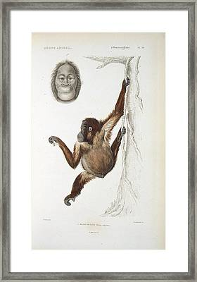 Bornean Orangutan, 19th Century Framed Print by Science Photo Library