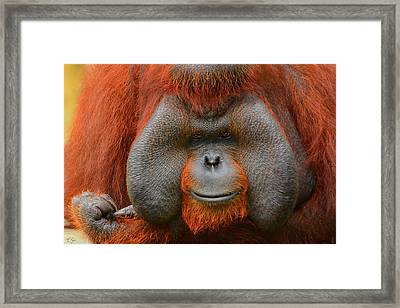 Bornean Orangutan Framed Print by Lourry Legarde