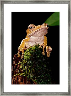 Borneo Eared Frog, Polypedates Framed Print by David Northcott
