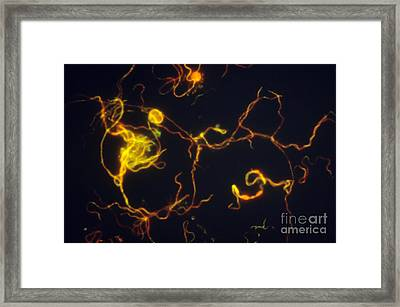 Borrelia Burgdorferi Lm Framed Print by David M. Phillips