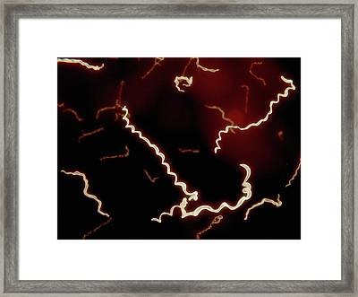 Borrelia Framed Print by Juan Gaertner