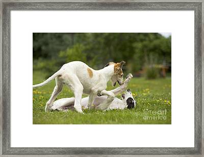 Borzoi Puppies Playing Framed Print by Jean-Michel Labat