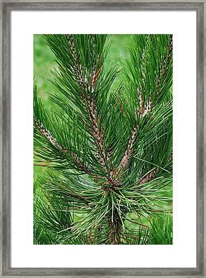 Bosnian Pine (pinus Heldreichii) Framed Print by Dr. Nick Kurzenko