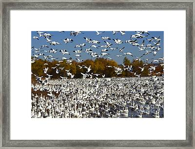 Bosque Del Apache Aka Paradise Framed Print by Bob Christopher