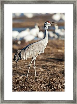 Bosque Del Apache National Wildlife Framed Print