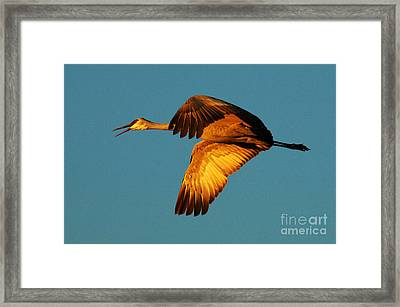 Bosque Del Apache Sandhill Crane Golden Light Framed Print by Bob Christopher