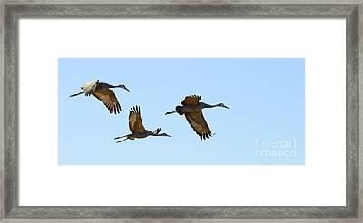 Bosque Del Apache Sandhill Crane Trio Framed Print