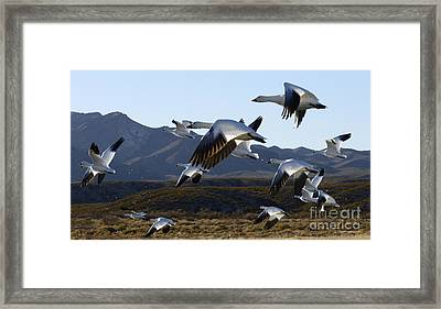 Bosque Del Apache Snow Geese In Flight Framed Print by Bob Christopher