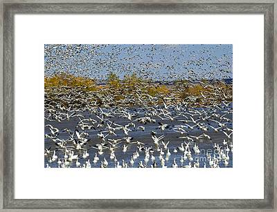 Bosque Del Apache Snow Geese In Paradise Framed Print by Bob Christopher