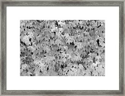 Boston Ivy In Monochrome Framed Print